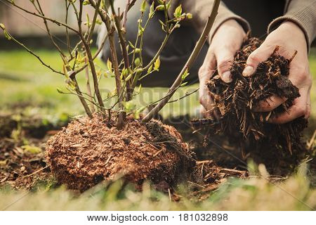 female gardener planting a blueberry bush bark mulch in the hand