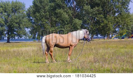 Beautiful light brown horse with a white mane stands on a meadow. Palomino horse on field in distance
