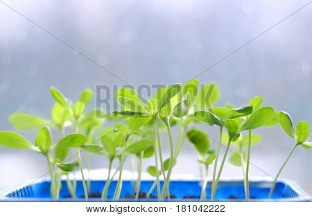 Small green plant sprouts on a blurred background
