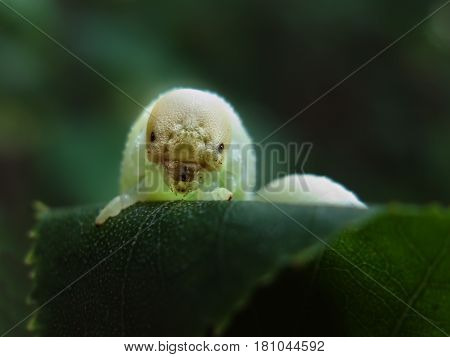 Big pale caterpillar (birch sawfly larva) with scary white head posing on birch leaf against green background - closeup photo