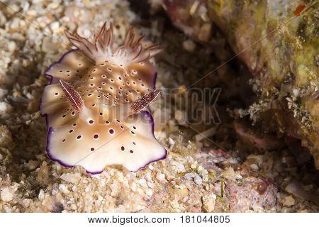 Risbecia Pulchella, Nudibranch