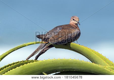 Single Dove Perched On Green Spiked Aloe Plant