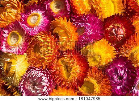 Dry Straw Flowers Background Or Everlasting. (helichrysum Bracteatum).