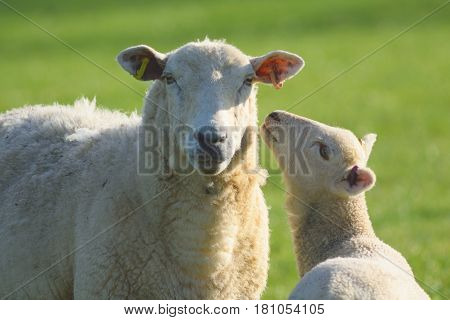 Sheep and lamb grazing on a farmland in East Devon England