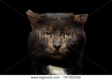 Portrait of unusual tranquility brown cat look like bear on isolated black background, front view with bite ear