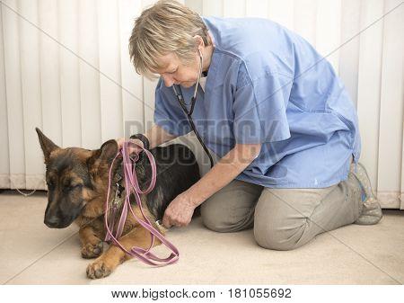 Female vet monitoring an Alsatian dogs heartbeat poster