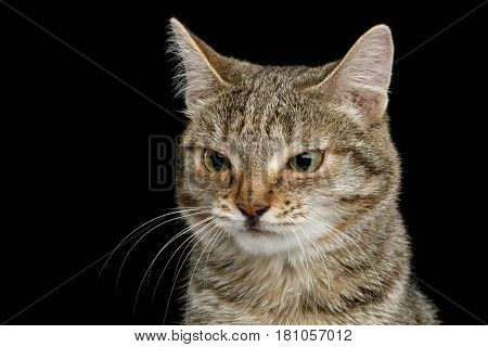Portrait of Unusual Cat with wide nose, stare suspects on Isolated Black background, front view