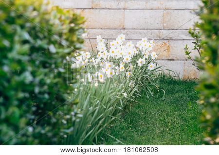 Urban flowerbed with white daffodil or narcissus flowers blooming in the spring. Selective focus