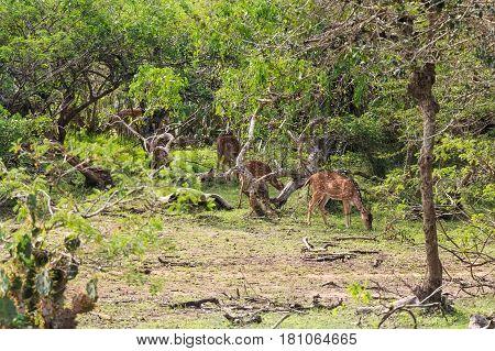 Group of cheetal deers or Axis graze in Yala