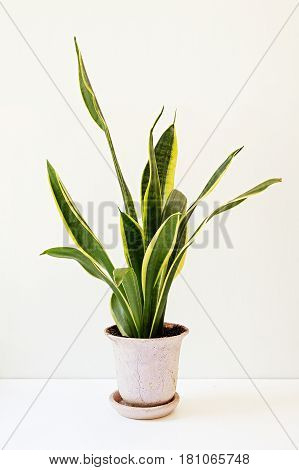 Sansevieria trifasciata or the Mother-in-Law's Tongue in an old flowerpot on a white table.