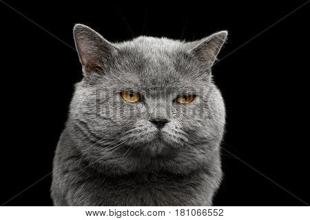 Portrait of grumpy British shorthair grey cat with big wide face on Isolated Black background, front view