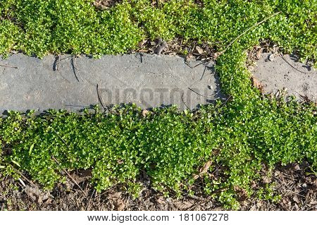 Closeup of green creeping grass leaves with brown ground and grey curbstone background texture