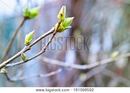 Nature seasonal spring background with the spring gentle buds leaves and branches on blurred background with copy space. First sprout on tree branch.