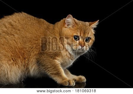 Frightened British Cat with Gold chinchilla Fur, Green eyes on Isolated Black Background, side view