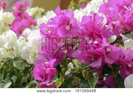 White and pink Lesser bougainvillea Bougainvillea glabra , blooms in the garden, soft focus and sunlight. Beautiful flower background.