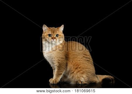 Gorgeous British Cat with Gold chinchilla Fur, Green eyes Sitting on Isolated Black Background, side view