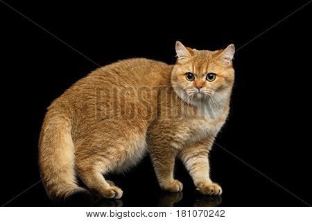 Furry British Cat with Gold chinchilla Fur, Green eyes Standing on Isolated Black Background, side view