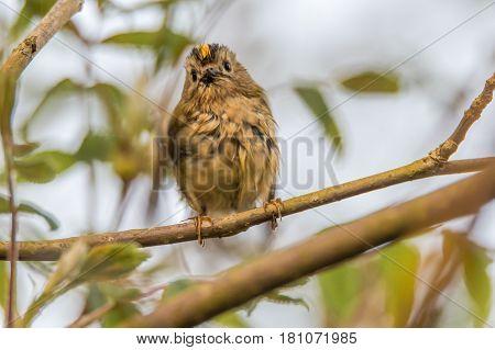 Goldcrest (Regulus regulus) wet after bath. Britain's smallest bird in the family Sylviidae wet after splashing in stream