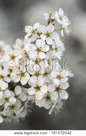 Blossom on blackthorn (Prunus spinosa). White flowers on shrub in the rose family (Rosaceae) abundant in springtime in the British countryside