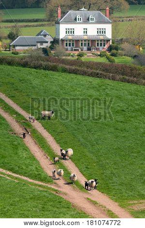 Flock of sheep herding on a farmland in Blackdown Hill East Devon England