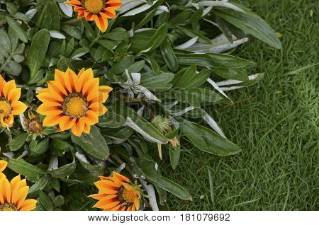Beautiful Sunny Gazania flower blossoms in the garden. Summer floral Background with copy-space for text