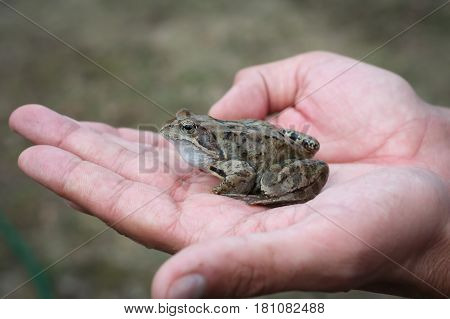 Animal Young Frog Sitting On Male Hands Outdoor Close Up.
