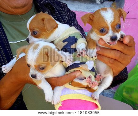 Man's hands holding three brown and white Chihuahua puppies, one of which is wearing a camouflage vest