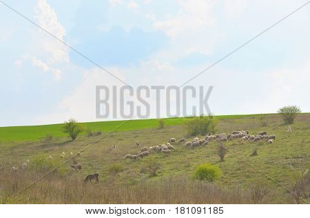 Herd of ships in spring time, in during day