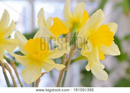 Fresh spring narcissus flowers in vase, close up