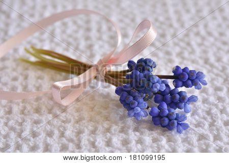                         Spara  Ladda ner förhandsgranskning   Muscari Armeniacum. Grape hyacinths and a pink ribbon on a White organic cotton background. Springflowers. romantic. Copy space