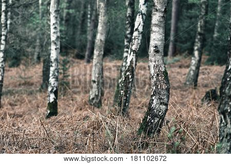 Trunks Of Birch Trees With Death Ferns.