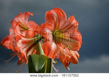 Amarilis Flowers Against Sky Background