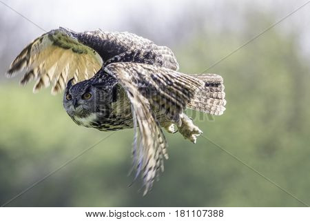 Eagle Owl (Bubo bubo) in flight. Bird of prey flying against natural blurred background.