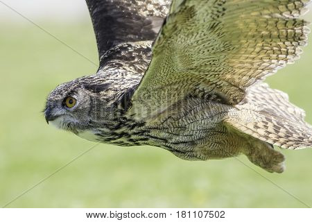 European or Eurasian eagle-owl in level flight hunting for prey. Magnificent stealth hunter bird.