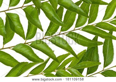 Several fresh curry leaves against a white background.