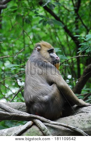Large adult mandrill monkey sitting on a fallen tree.