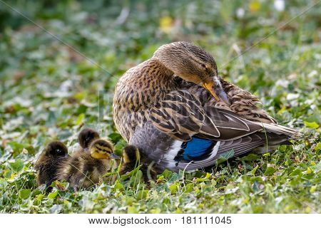 Mallard ducklings (Anas platyrhynchos) huddled together with female adult parent mum