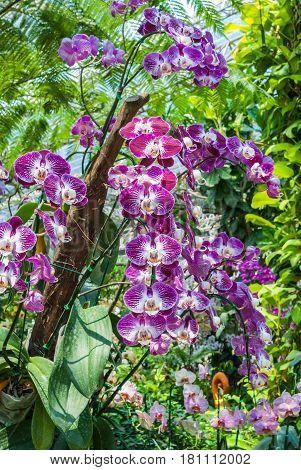 Closeup To Beautiful Purple Vanda Spp. Orchid/ Orchidaceae