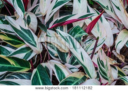 Closeup To Never Never Plant/ Clenanthe Oppenheimiana (e.morren)/ Tricolor/ Marantaceae Background