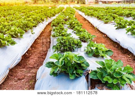 Agriculture farm of strawberry field. Ripe and unripe organic strawberry fruit growing on plantation. Outdoor at the daytime with bright sunlight.
