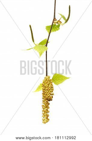 Spring Twig Of Birch With Young Leaves And Catkins