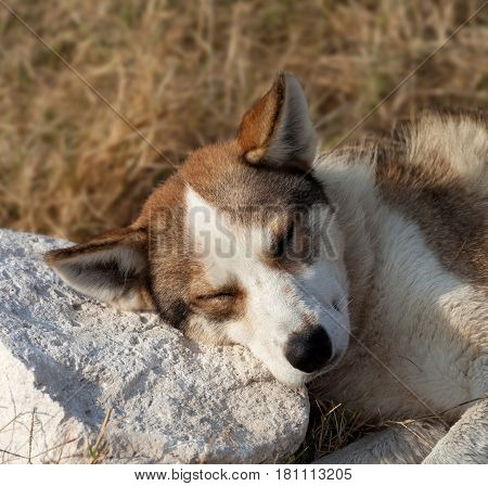 Homeless dog sleeps on stone for a pillow. Close-up view