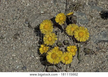 Foalfoot, mother and stepmother or  Tussilago farfara is the first flowers of springtime, Vitosha, Bulgaria This is the beginning of a new cycle of life.