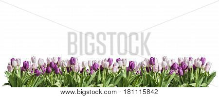 Happy Eastern pink and white Tulip on white background space greeting textspace