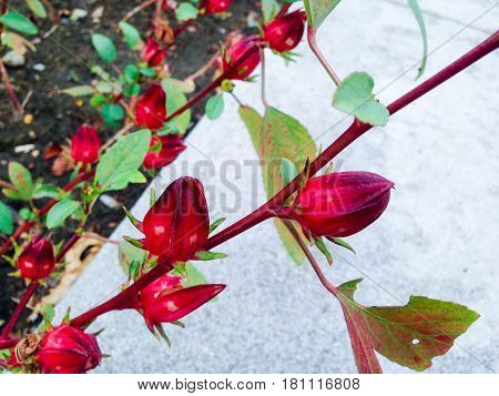 Hibiscus Sabdariffa L.