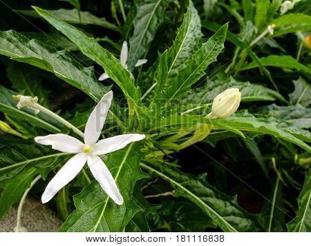 Hippobroma Longiflora (l.) G. Don Plants.