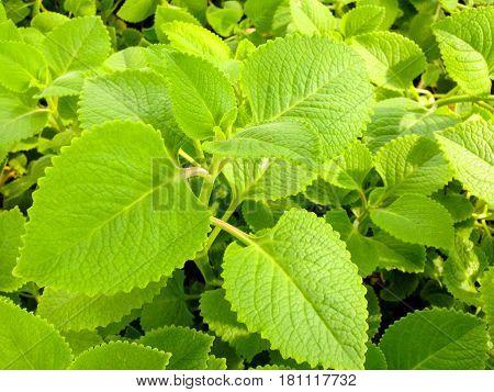 Plectranthus Amboinicus (lour.) Spreng Plants.