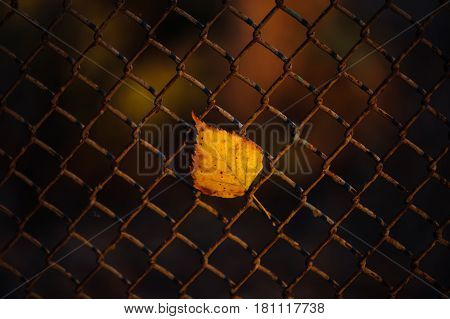 Fallen autumn leaf stuck in the fence. Picturesque. Nature.