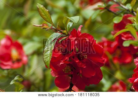Japanese quince or Chaenomeles speciosa branch - blossoming in springtime, Sofia, Bulgaria
