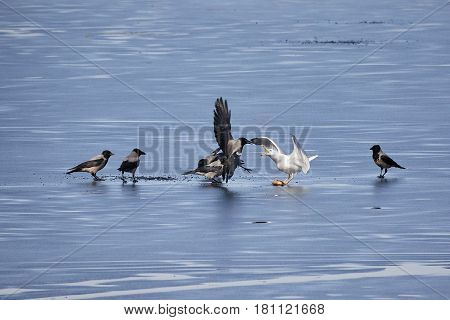 European Herring Gull Fighting Hooded Crows For A Fish On The Ice Of Frozen Lake In Spring